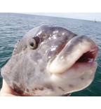 "5 ""White Chin"" Hi Lo rigs - Blackfish | Seabass | Cod"
